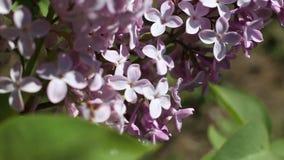 Belle macro vidéo d'une floraison lilas pourpre de fleur banque de vidéos