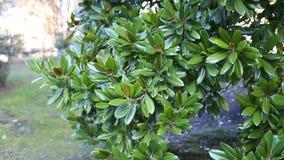 Belle magnolia blanche clips vidéos