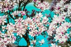 Belle magnolia rose sur le fond cyan de piscine, aérien Photos libres de droits