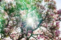 Belle magnolia rose sur le fond de ciel bleu, jour ensoleillé Photo stock