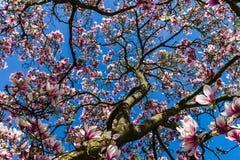 Belle magnolia rose sur le fond de ciel bleu, jour ensoleillé Image libre de droits