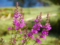 Belle mais envahissante fleur de salicaire commune Image libre de droits