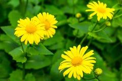 Belle margherite gialle su un fondo delle foglie verdi fotografia stock libera da diritti