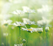 Belle marguerite au printemps Image libre de droits