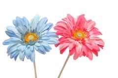 Belle marguerite bleue et rose de gerbera d'isolement sur le blanc Photo stock