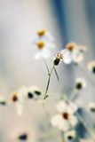 Belle marguerite fraîche dans la lumière chaude du soleil Photo libre de droits