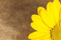 Belle marguerite jaune Image libre de droits