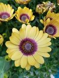 Belle marguerite jaune lumineuse photos libres de droits