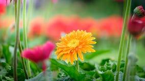 Belle marguerite orange, rouge et jaune de gerbera dans le jardin Photographie stock libre de droits