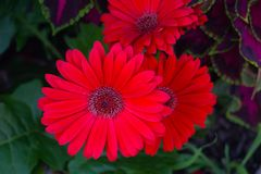 Belle marguerite rouge lumineuse de Gerbera et x28 ; daisies& x29 ; en pleine floraison qui se tiennent contre un coleus pourpre  Image libre de droits