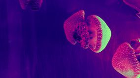 Belle meduse colourful in acquario archivi video