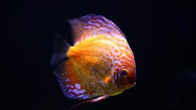 Belle meduse colourful in acquario video d archivio