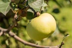 Belle mele deliziose mature su un ramo di albero in un giardino di estate fotografia stock libera da diritti
