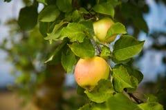 Belle mele naturali che appendono in di melo alla fine di estate Fotografia Stock Libera da Diritti