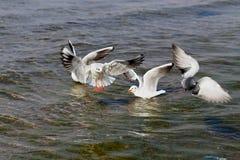 Belle mer de mouette Images libres de droits