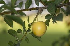 Belle mirabelle sur une branche, un fruit juteux images stock