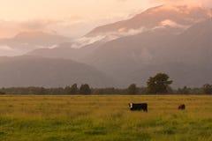 Belle montagne du Nouvelle-Zélande pendant le lever de soleil avec la vache de encadrement Photo stock