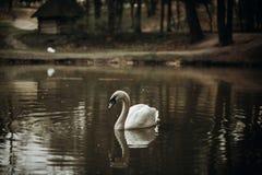 Belle natation blanche de cygne dans un étang au parc britannique de faune Photographie stock libre de droits