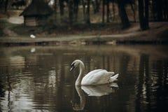 Belle natation blanche de cygne dans un étang au parc britannique de faune Photo libre de droits