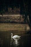 Belle natation blanche de cygne dans un étang au parc britannique de faune Photos libres de droits