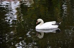 Belle natation blanche de cygne dans un lac Photo libre de droits