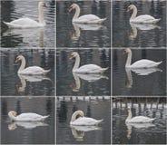 Belle natation blanche majestueuse de cygne sur un lac dans le paysage d'hiver Image libre de droits