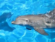 Belle natation de dauphin Image libre de droits