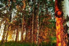 Belle nature à la soirée dans la forêt d'été sur le coucher du soleil Photographie stock libre de droits