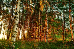 Belle nature à la soirée dans la forêt d'été sur le coucher du soleil Image stock