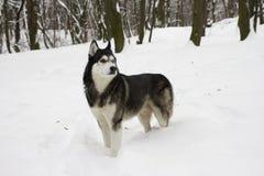 Belle neige animale fière de loup de chien sauvage d'hiver enroué de neige grande Photographie stock
