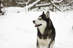 Belle neige animale fière de loup de chien sauvage d'hiver enroué de neige grande Image libre de droits