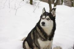Belle neige animale fière de loup de chien sauvage d'hiver enroué de neige grande Photographie stock libre de droits