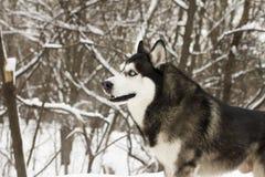 Belle neige animale fière de loup de chien sauvage d'hiver enroué de neige grande Photo stock