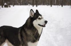 Belle neige animale fière de loup de chien sauvage d'hiver enroué de neige grande Photos libres de droits