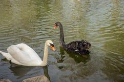 Belle nuotate in bianco e nero del cigno sulla superficie dello stagno, fotografia stock libera da diritti