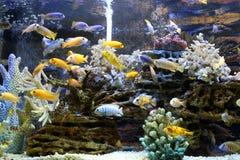 Belle nuotate del pesce di mare dell'oro nell'acquario immagine stock libera da diritti