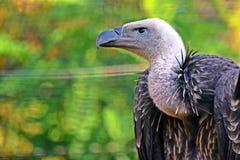 Belle observation de vautour photo stock