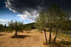 Belle Olive Trees avec le ciel nuageux bleu Saison d'été, Toscane Images stock