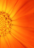 belle orange de fleur photos stock