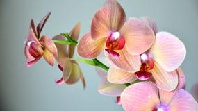 Belle orchidée Photographie stock libre de droits