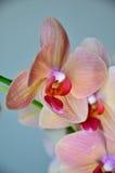 Belle orchidée Photo libre de droits