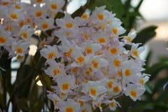 Belle orchidée blanche Photo libre de droits