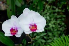 Belle orchidée blanche sur le fond vert photographie stock