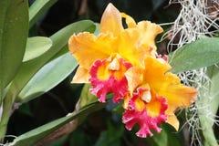Belle orchidée d'oranges dans le jardin, orchidée thaïlandaise Image stock