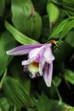 Belle orchidée de Cattleya de flore de fleurs Image stock