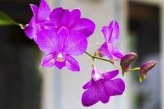 Belle orchidée de fleur populaire Photos stock