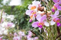 Belle orchidée de fleur sauvage, syn de teres de Vanda Tere de Papilionanthe Images libres de droits