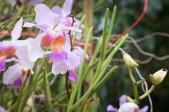 Belle orchidée de fleur sauvage, syn de teres de Vanda Tere de Papilionanthe Image stock