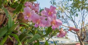 Belle orchidée de phalaenopsis de Vanda Dendrobium Photo libre de droits
