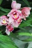 Belle orchidée de rose de flore de fleurs Image stock